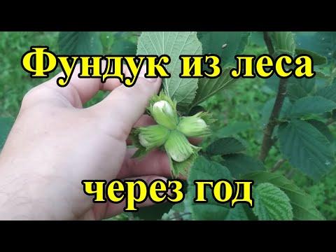 Фундук из леса первое плодоношение, лещина обыкновенная в саду, лесной фундук, домашний фундук