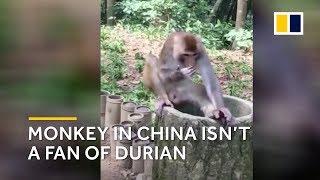 Monkey in China isn't a fan of durian