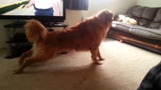 Golden Retriever Vs. Border Collie: Synchronized Stretching
