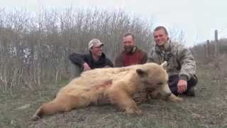 Spot & Stalk Black Bear Hunt 49 Yard Shot On A Blonde Bear Hunting With Willow Creek Outfitters