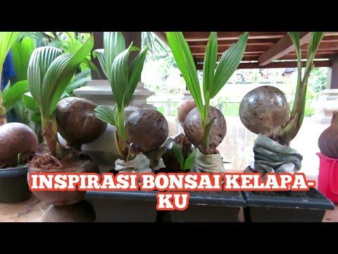 Inspirasi Bonsai Kelapa Ku Youtube