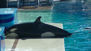 Makani keeps trainer company 2 of 3 - Nov 20 2014 - SeaWorld San Diego