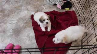 Coton Puppies For Sale - Ireland 10/26/20