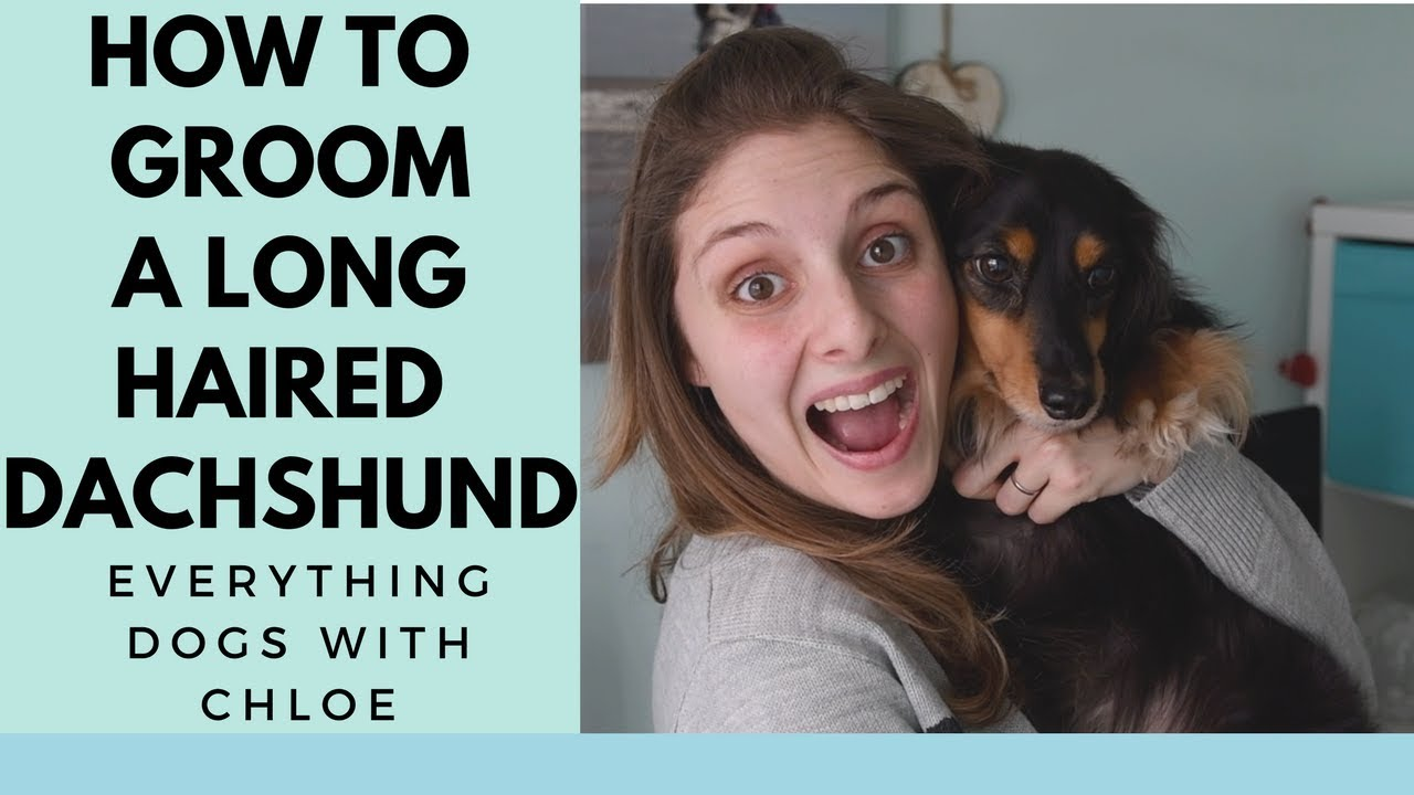 How To Groom A Longhaired Dachshund Youtube