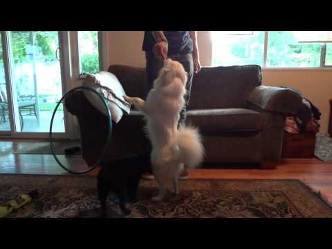 Zelda Schipperke & Fifi doing tricks and looking so cute!