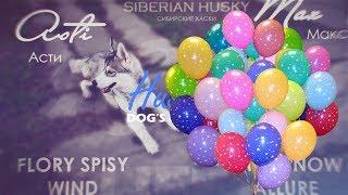 (Асти и шарик) Веселые и смешные сибирские хаски, Funny dogs