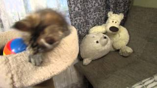 Кошечка мейн-кун черепахового окраса Брисса