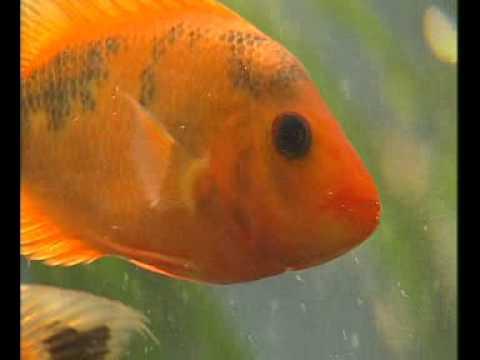 Боковая линия рыб.avi