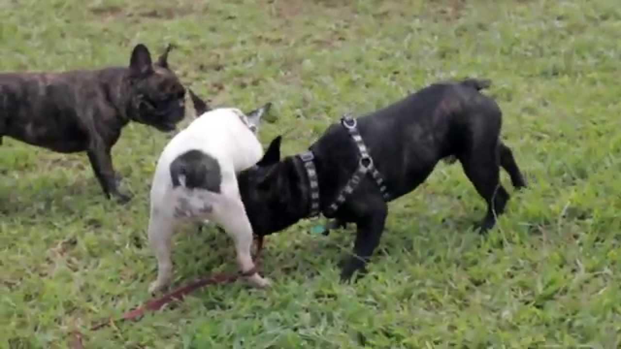 I encontro bulldog franc s de bras lia youtube - Bulldog frances gratis madrid ...