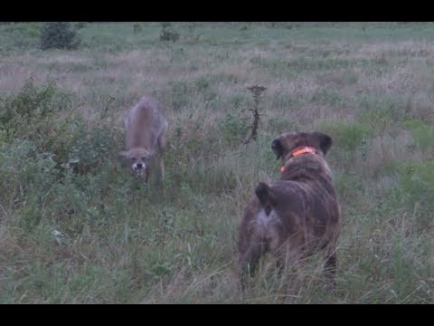 Dog takes on a deranged coyote.