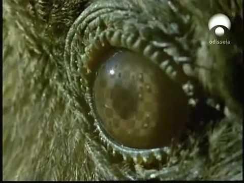 Kea (Nestor notabilis): Loro muy inteligente