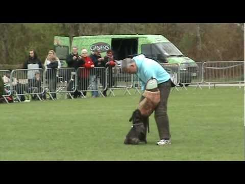 French bulldog 1½ year old, Purpleheart's Magic Evolution ''Ozzy'' IPO 3 DM Grp. C show