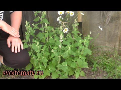 Как вырастить мелиссу из семян