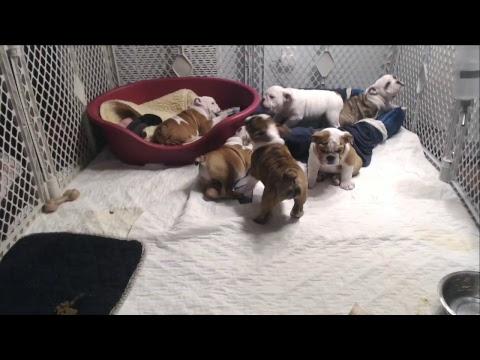 Bulldog Puppy Watch - Live Stream - Day 70