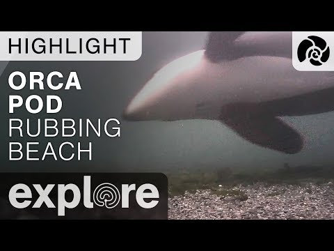 Orca Pod Swims By - Orca Lab - Live Cam Highlight