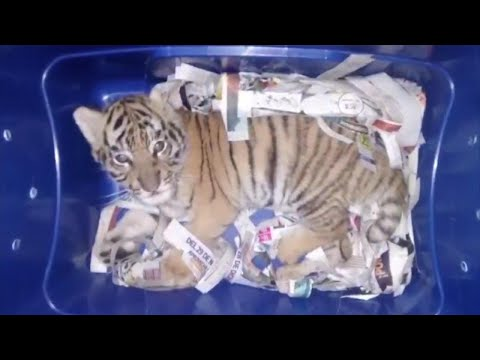 Tiger Cub Found in the Mail by Mexico Police