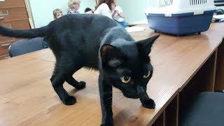 Бомбейские котята из питомника PCA БОМБЕЙ КЭТ