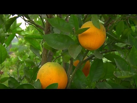 Curiosity Quest Looks Back - Remembering the Citrus Industry