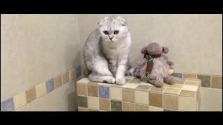 Вислоухий котенок Полина-Леоне  lop-eared Kitty