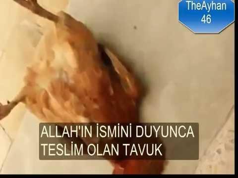 ALLAH'IN İSMİNİ DUYUNCA TESLİM OLAN TAVUK
