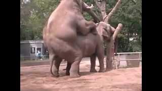 Angaralı Çılğın Filler