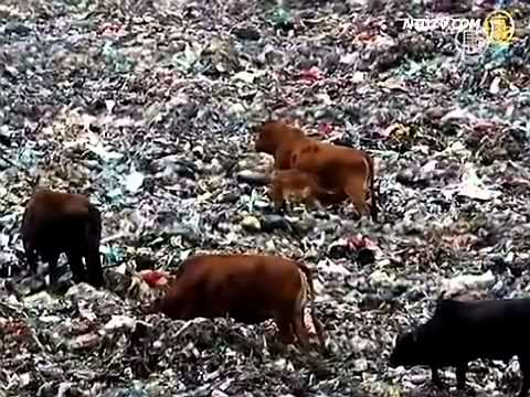 China's Garbage Fed Beef Food Scandal - YouTube4.flv