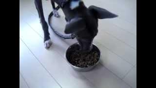 Italian Greyhound 今日はイタグレ(イタリアン・グレイハウンド)に【...