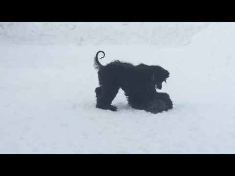 Afghan hound puppies 3 months