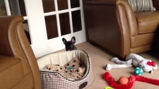 Miniature Schnauzer And French Bulldog Puppy