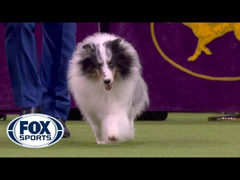 'Conrad' the Shetland sheepdog wins Herding Group at 2020 Westminster Dog Show | FOX SPORTS