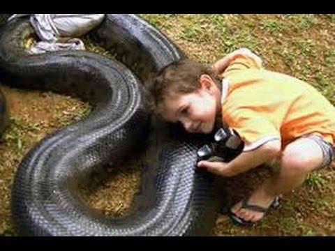 """"""" งูยักษ์  อนาคอนด้า """" งูที่ใหญ่ที่สุดในโลก"""