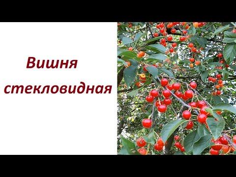 Вопрос: Вишня бешаная, народное название какого растения?