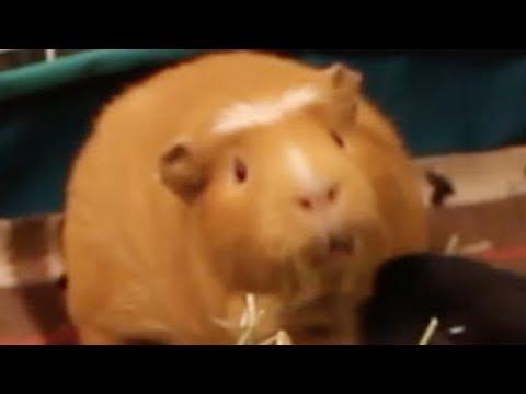 Guinea Pig Mating Call
