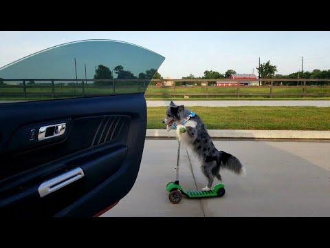 Dog Pulls off Amazing Kiki Challenge || ViralHog