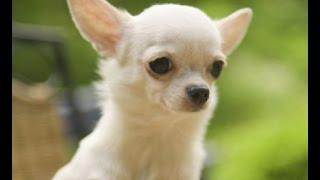 Породы маленьких собачек - 1 выпуск   Фото собак