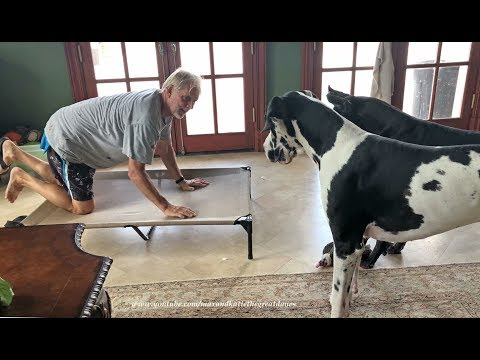 funny-introduction-of-great-danes-to-an-elevated-bed