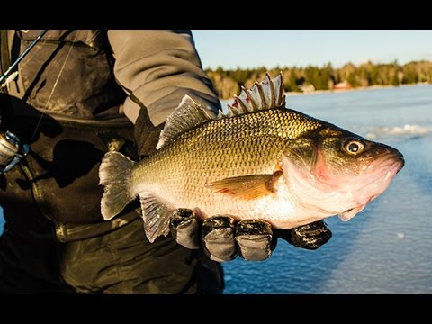 Hook Shots: Giant New Hampshire White Perch