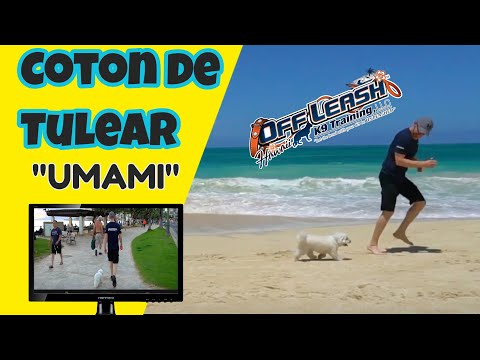 "1 Year Old ""Umami"" Coton de Tulear 