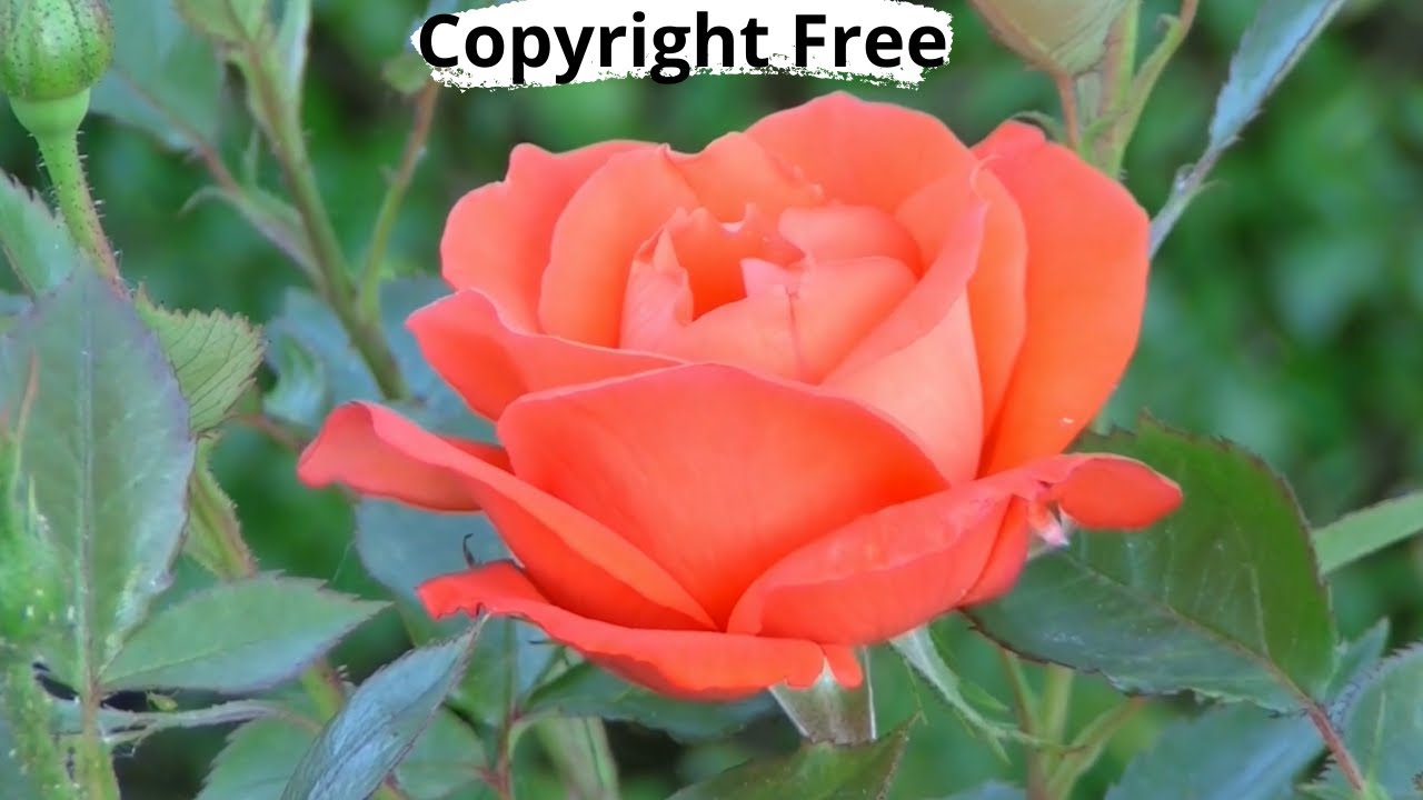 Copyright Free Rose Flower Blooming Stock Video 1080 Full Hd Youtube