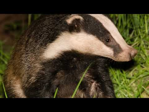 Interesting facts about European Badger by weird square