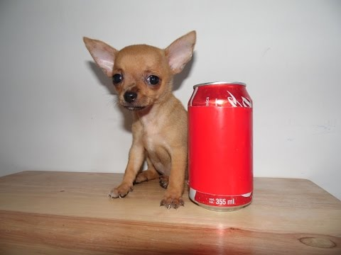 tiny cup chihuahua