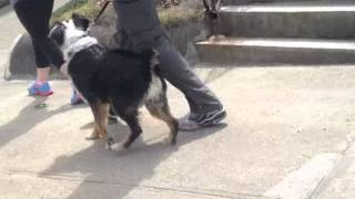 Leash Reactive Dog - Solid K9 Training