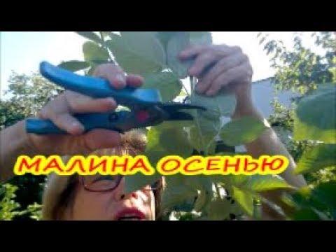 Miao Miao (Мяо Мяо, малина розолистна - Rubus rosaefolius) - YouTube