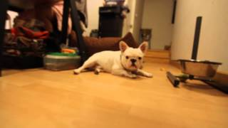 French Bulldog Name Pierre