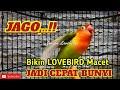 Jagonya Bikin Lovebird Bisu Dan Macet Jadi Cepat Bunyi Langsung Respon Cukup Dengan Sekali Putar  Mp3 - Mp4 Download