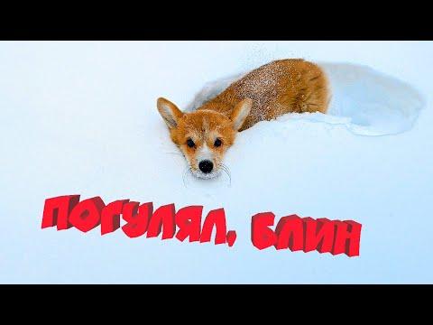 Мне разрешили ГУЛЯТЬ!! Снимаю ЭПИЧНОЕ СЛОУМО! (Корги Коржик) Говорящая собака