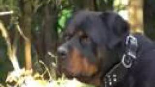 Big Dog, Rottweiler, A Rottie. Running With The Big Dogs,  Presented By Thesupergranny.net