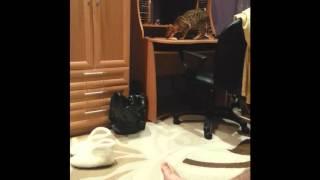 Кошка бенгал приносит открывашку прикол