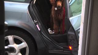 4 Month Old Standard Poodle Mitra Trying To Get Off The Car