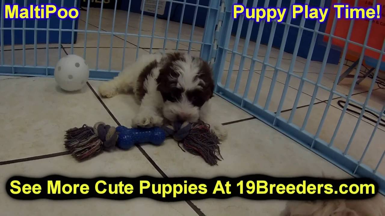 Malti Poo, Puppies, Dogs, For Sale, In Anchorage, Alaska ...